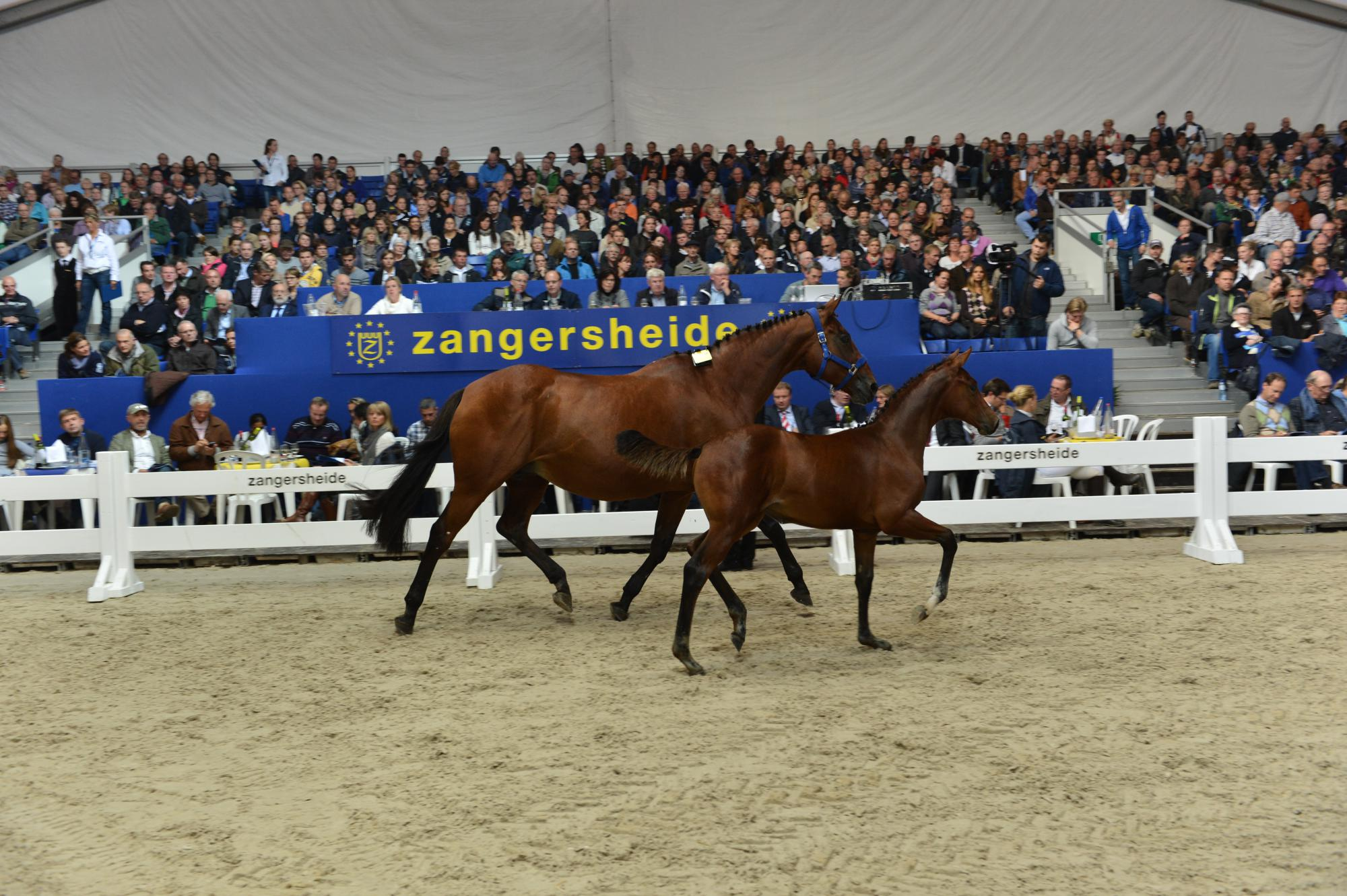 Zangersheide Quality Auctions 2013